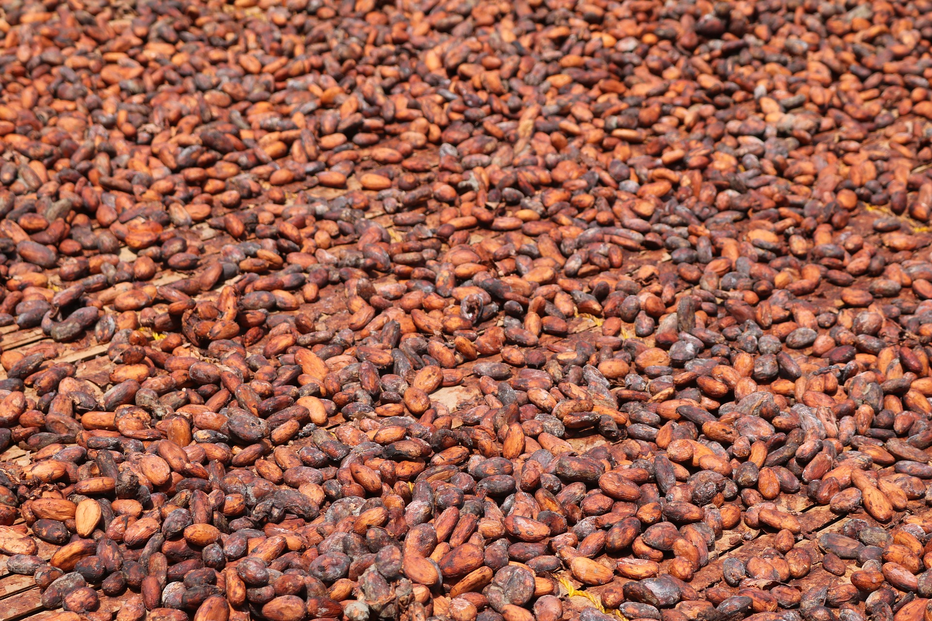 chicchi cacao